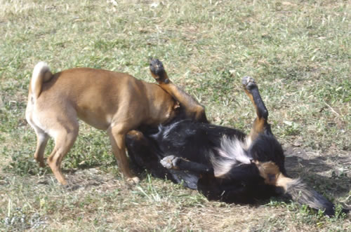 Two dogs, Ollie and Maggie, playing