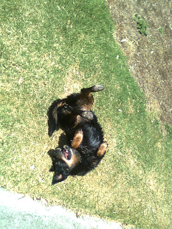 Maggie rolling on the grass