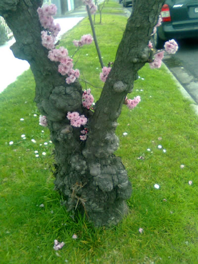 Gnarly old plum tree trunk with fluffy pink blossoms appearing close to the trunk