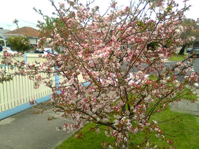 Another plum tree in bloom