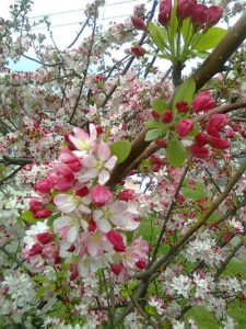 Close up of the plum tree blossoms