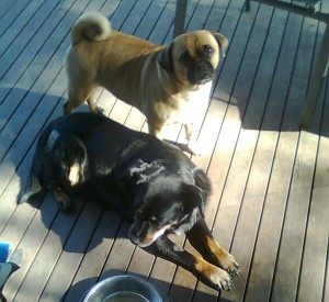 Maggie and Ollie on the back deck. Maggie is a black Kelpie cross and Ollie is a brown pugalier